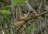 Black-capped Squirrel Monkey (tickspics ) Tags: bolivia blackcappedsquirrelmonkey madidinationalpark southamerica primates newworldmonkeys amazonbasin blackheadedsquirrelmonkey boliviansquirrelmonkey cebidae saimiriboliviensis tropicalrainforest sspboliviensis