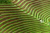 Farmer spraying fertiliser_DSC_8395 (PRADEEP RAJA K- https://www.pradeeprajaphotos.com/) Tags: flickrtravelaward people java indonesia green majalengka natural onionfarmer onion nature outdoor terrace travel asia farmer vacation field argapura summer holiday view plant westjava pattern plantation food beautiful fresh farm asian agriculture background man west farmland landscape traditional jawabarat vegetable organic leaf onionfield red terraced destination spring technology hill water work spraying