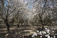 DSC_1183 (rskim119) Tags: fresno fruit tree blossom flower trail spring orchard