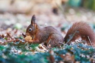 Sqirrel with walnut