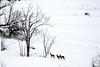 PIO_0532m (MILESI FEDERICO) Tags: milesi milesifederico italia italy iamnikon inmontagna inverno ice piemonte piedmont visitpiedmont valsusa valliolimpiche valledisusa alpi alpicozie altavallesusa altavaldisusa valdisusa nikon nikond7100 nital natura nature nat neve nevicata ngc d7100 dettagli details 2018 gennaio wild wildlife life mammifero mammiferi caprioli