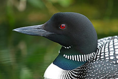 Full Frame Closeup Portrait Of A Common Loon (AlaskaFreezeFrame) Tags: commonloon loons loon waterfowl summer lake lakes water bird birds waves alaska alaskafreezeframe beautiful divers redeyes ponds nature outdoors outdoor wildlife anchorage canon 70200mm telephoto gaviaimmer webbedfeet fall colorful reflection closeup portrait coth coth5