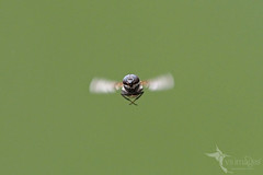 Blowfly (VS Images) Tags: blowfly stomorhinadiscolor flies insects insect insectsinflight insecta australianinsects flight wings australia nsw nature ngc naturephotography getolympus m43 vsimages vassmilevski olympusau olympus