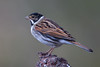 Reed Bunting (Male) (Simon Stobart) Tags: reed bunting male emberiza schoeniclus branch northeast england ngc