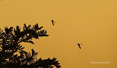 Flying ants (pamelamacchiavello) Tags: ant fly silhouette branch sunset