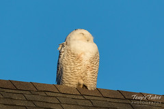 Napping Snowy Owl