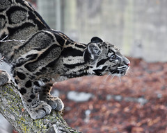 Baby Clouded Leopard (In Explore) (Rackelh) Tags: cat cats bigcat baby babyanimal cub leopard clouded spots zoo toronto canada