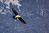 Sous le soleil d'Aragon (PierreG_09) Tags: espagne spain españa aragon faune oiseau gypaètebarbu gypaetusbarbatus beardedvulture quebrantahuesos bartgeier partakorppikotka