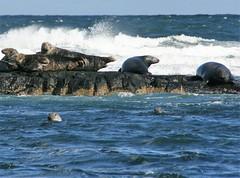 Farne Islands, North Sea (Christopher DunstanBurgh) Tags: farneislands northumberland northsea nordsee stcuthbert cuthbert monk hermit mönch eremit seal wildlife