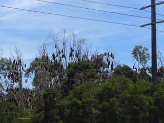 Flying foxes (2)