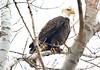 bald eagle at Lake Meyer Park IA 854A7912 (lreis_naturalist) Tags: bald eagle lake meyer park winneshiek county iowa larry reis