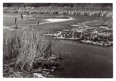 Winter scene II (K.Pihl) Tags: bokeh canonef50mmf18 darkroom print nature blackwhite schwarzweiss rodinal150 canoneos50eelaniie selenium lake agfaapx100 pellicolaanalogica winter bw film analog ice
