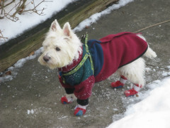 1/12B ~ Riley, dressed for the cold and snow! (ellenc995) Tags: riley westie westhighlandwhiteterrier snow cold 12monthsfordogs18 thesunshinegroup coth alittlebeauty fantasticnature thegalaxy coth5 100commentgroup