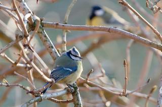 Blue Tit, Mésange bleue (Parus caeruleus) - Clermont, BELGIUM