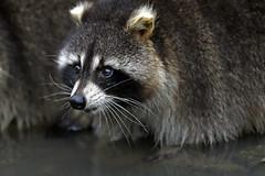 Waschbär (Michael Döring) Tags: gelsenkirchen bismarck zoomerlebniswelt zoo waschbär racoon afs600mm40e d850 michaeldöring inexplore