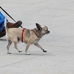 Vienna dog thumbnail