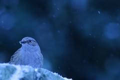 Dunnock - Brittany (Léo Denoual) Tags: brittany wildlife nature winter snow cold dunnock bird blue rock eye weather bokeh animal