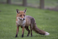 FOX (Neil Shaw Images) Tags: