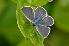 Small Blue (Cupido minimus) (Andrew Cooper 2017) Tags: butterfly butterflies beautiful blue smallblue macromondays nature green summer macro new macrophotography natural naturephotography wildlife wildlifephotography wild insect leaf leaves lepidoptera scales detail dorset uk unitedkingdom closeup geotagged photooftheday photography bindonhill