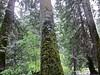 Ross Creek (Rock Water) Tags: cedars montana