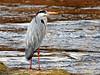 Garza real (Ardea cinerea) (31) (eb3alfmiguel) Tags: aves zancudas ciconiiformes ardeidae garza real ardea cinerea