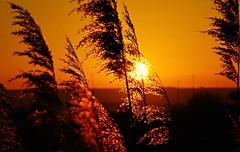 Entre carrizos (portalealba) Tags: zaragoza zaragozaparque aragon españa spain sunset sol portalealba pentax pentaxk50 atardecer