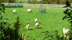 Rural life (Sandy Austin) Tags: panasoniclumixdmcfz70 sandyaustin westauckland auckland northisland newzealand rural sheep kumeu