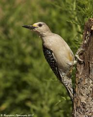 Golden Fronted Woodpecker (Raddykrish Photography) Tags: goldenfrontedwoodpecker woodpecker texas nature naturephotography photography birds birdphotography 2017