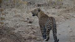 Indian leopard (praveen.ap) Tags: indian leopard indianleopard ranthambore ranthambhore ranthamborenationalpark zone2 2 ranthambhoretigerreserve ranthamboretigerreserve male