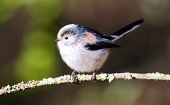 Long-Tailed Tit - Taken at Summer Leys Nature Reserve, Wollaston, Upper Nene Valley, Northants, UK (Ian J Hicks) Tags: