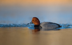 Redhead (nikunj.m.patel) Tags: redhead ducks waterfowl nature wild wildlife migration winter duck wildfowl goldenhour nikon naturephotography