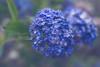 Blue crystal garden in the moonlight (Hanna Tor) Tags: newzealand flower blue garden blossom petals color light moonlight hannator flora nature