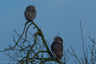 The Little Owl / Athene Noctua