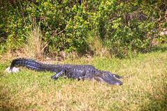 Juancho (moises_delgado) Tags: ifttt 500px nature wildlife swamp alligator wild animal florida everglades lagarto gator