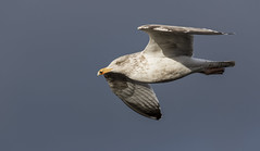 Herring Gull (Paul..A) Tags: herringgull herring gulls seagull birdinflight flying scotland larusargentatus