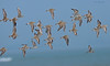 Flying Fast..... (Anirban Sinha 80) Tags: nikon d610 fx 500mm f4 ed vrii n g prime bokeh bird plover sand wings sky water shorebirds