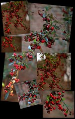 February Pyracantha Berries Collage (jalexartis) Tags: winter winterberries pyracantha firethorn firethornpyracantha pyracanthaberries lighting