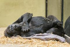 2018-02-20-11h39m00.BL7R0067 (A.J. Haverkamp) Tags: binti canonef100400mmf4556lisiiusmlens amsterdam noordholland netherlands zoo dierentuin httpwwwartisnl artis thenetherlands gorilla pobapeldoornthenetherlands dob19111992 nl