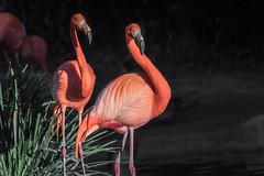 Early Morning at the Pond (helenehoffman) Tags: flamingo caribbeanflamingo conservationstatusleastconcern feathers bird wadingbird americanflamingo beak phoenicopterusruber sandiegozoo orange aves