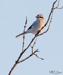 Northern Shrike (BirdFancier01) Tags: nature wildlife predatory goldenlight northernshrike