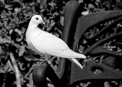 Elegance (.Guillermo.) Tags: bw blackandwhite blancoynegro palomas animal parque park nikon