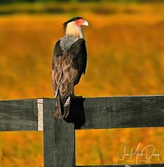 Caracara (QuakerVille) Tags: jonmarkdavey 2018 wildlife wetland birds caracara caracarajonmarkdavey deerfieldbeach fl usa