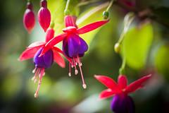 Flowers Thailand (♥siebe ©) Tags: 2018 chiangmai siebebaardafotografie thai thailand flower flowers orchid orchidee wwwsiebebaardafotografienl กล้วยไม้ ดอกไม้ ประเทศไทย เชียงใหม่ เมืองไทย ไทย