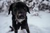 Cortana (Tony Webster) Tags: cortana fishlakeregionalpark maplegrove minnesota plymouth boop dog dogpark snow winter