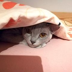 Yumi (♠Einwegherz♠) Tags: burmesecat burmese cat kitty cute