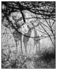 Morning Fog - Saying Hello. (GAPHIKER) Tags: wildlife deer group framing fog morning dew bokeh