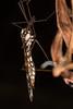 Ischnotoma eburnea (zosterops) Tags: diptera tipulidae ischnotomaeburnea australia tasmania blackmansbay petermurrellreserve canoneos6d canonmacrolensmpe65 macro insecta