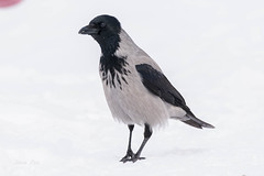 Hooded crow (dave_poth) Tags: