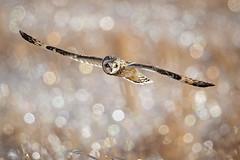 On the Hunt... {Explored} (DTT67) Tags: shortearedowls shortearowl owls flight raptors birds prey bif shortys wildlife nature hunting canon 1dxmkii 500mmii 2xtciii winter frosted grass bokeh