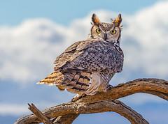 Great Horned Owl (Eric Gofreed) Tags: arizona arizonasonoradesertmuseum greathornedowl owl pimacounty raptorfreeflight coth5